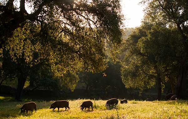 Cerdos ibéricos en Jabugo