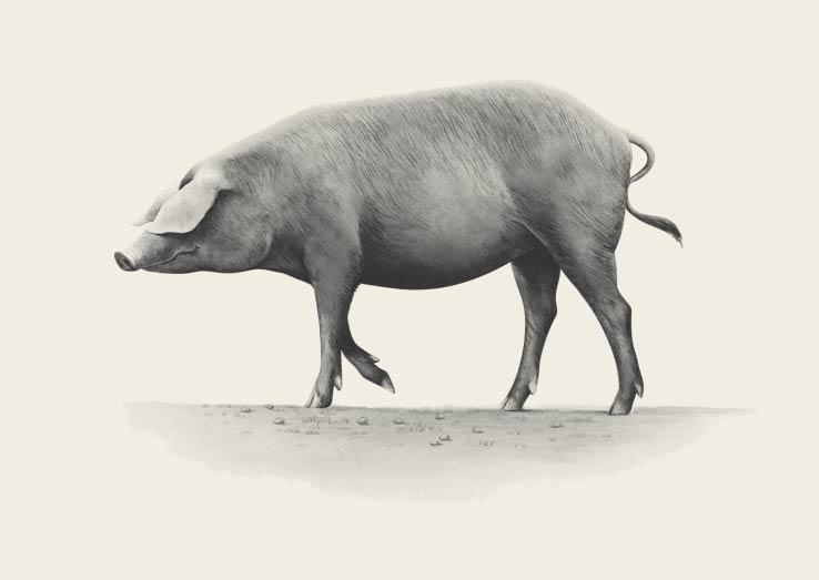 carne de cerdo 100% Ibérica Cinco Jotas